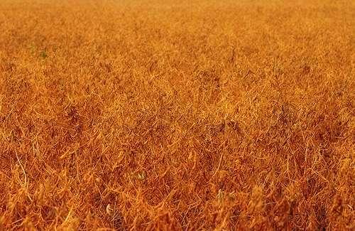 Foto eines Soja Feldes