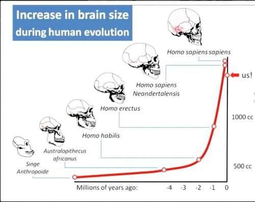 Anstieg des Gehirnvolumens .