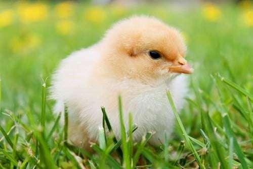 Kücken (Quelle: Public Domain http://pixabay.com/en/chicks-spring-chicken-plumage-349035/)
