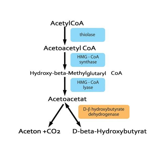 Syntheseweg von Ketonkörpern in der Leber (Ketogenese)