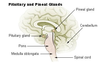 Pituitary and Pineal Glands source: http://training.seer.cancer.gov/module_anatomy/unit6_3_endo_glnds1_pituitary.html
